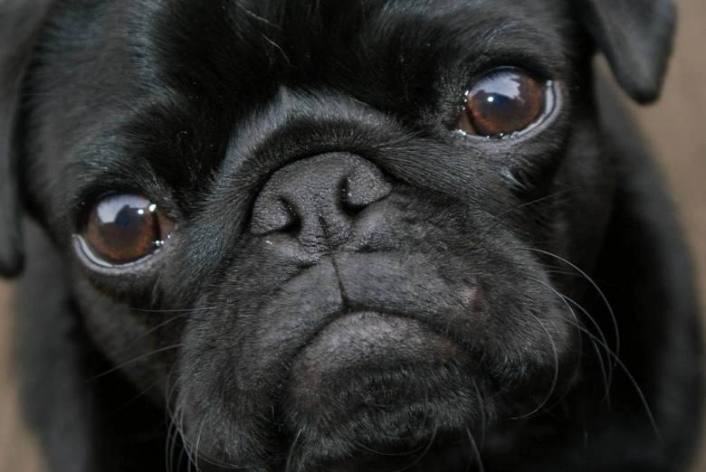 Juulke - Close-up Juulke our pug