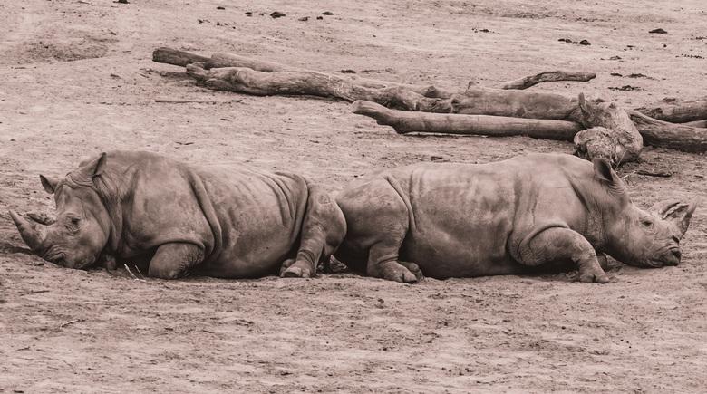 """Twister - Volgens mij waren deze 2 neushoorn twister aan het spelen <img  src=""""/images/smileys/tongue.png""""/>"""