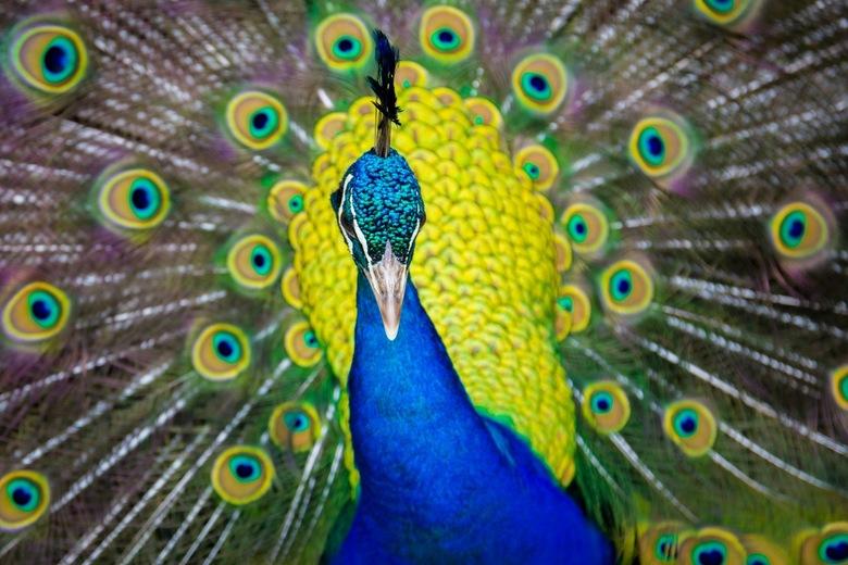 Pauw - Dit mannetje probeerde zijn vrouwtje te imponeren met zijn prachtige veren.