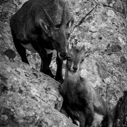 Steenbok knuff