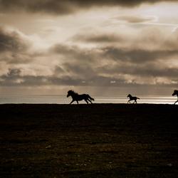 IJslandse paarden