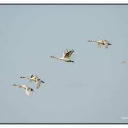Vijf zwanen in vlucht
