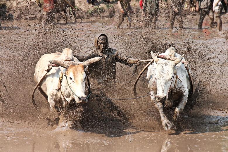 sumatra buffalo racing -