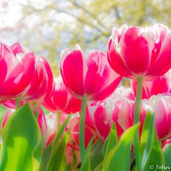 Keukenhof wit roze tulpen