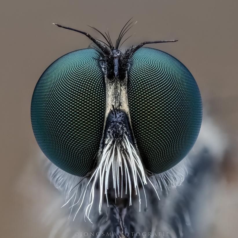 portret van een roofvlieg 3