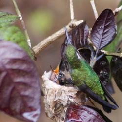 Kolibri met jongen