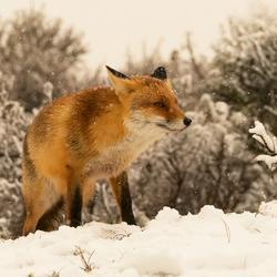 vos in de sneeuw Zoom