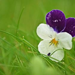 Verdwaald viooltje