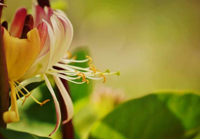 Kamperfoelie - De kamperfoelie in onze tuin staat in bloei