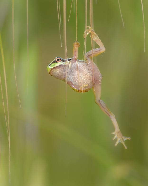 Boomkikker yoga - Deze boomkikker bleef een tijdje zo hangen in deze onmogelijke positie ,  om daarna maar los te laten en maar zien waar die terecht