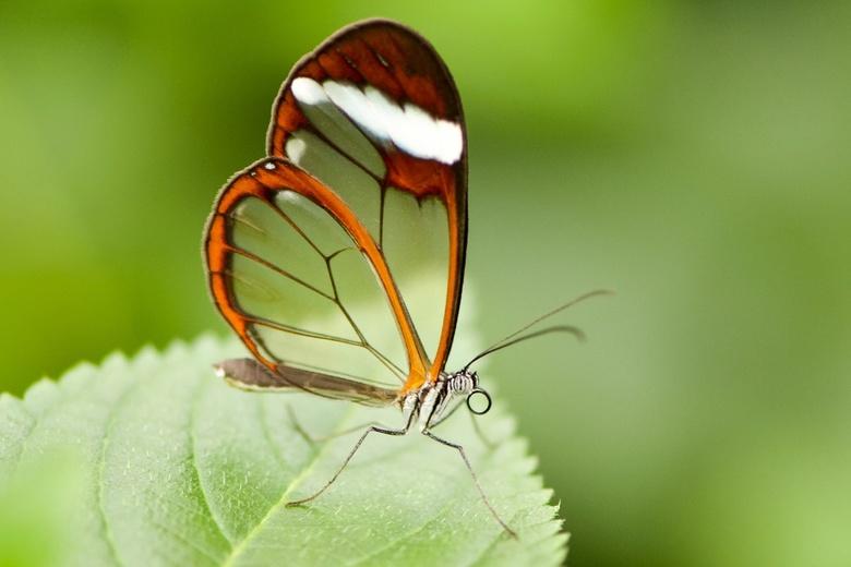 Glasvleugel vlinder - Foto genomen bij orchideeenhoeve Luttelgeest