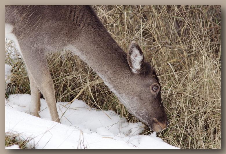 Op zoek naar eten - De sneeuw smelt.<br /> Het wordt voor de dieren weer iets gemakkelijker om bij het eten te komen.<br /> Een damhert probeert&#03