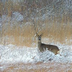 Snow Deer.
