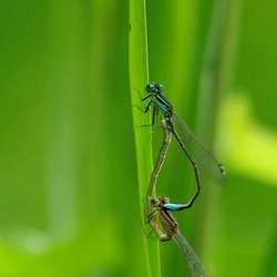 Stelletje azuurblauwe waterjuffers