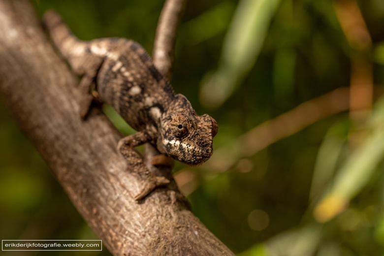 Kameleon - Ook deze kameleon heb ik gefotografeerd op Madagaskar.