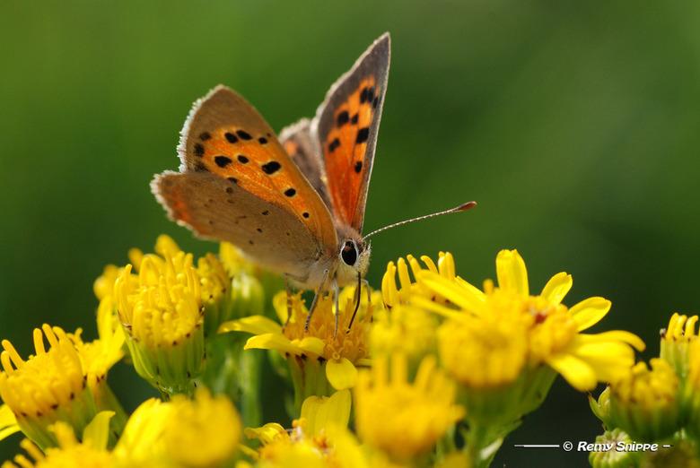 Kleine Vuurvlinder - Kleine vuurvlinder bij de uiterwaarden van de Vecht bij Hardenberg<br /> <br /> Erg mooi vlindertje met een mooie vel oranje kl