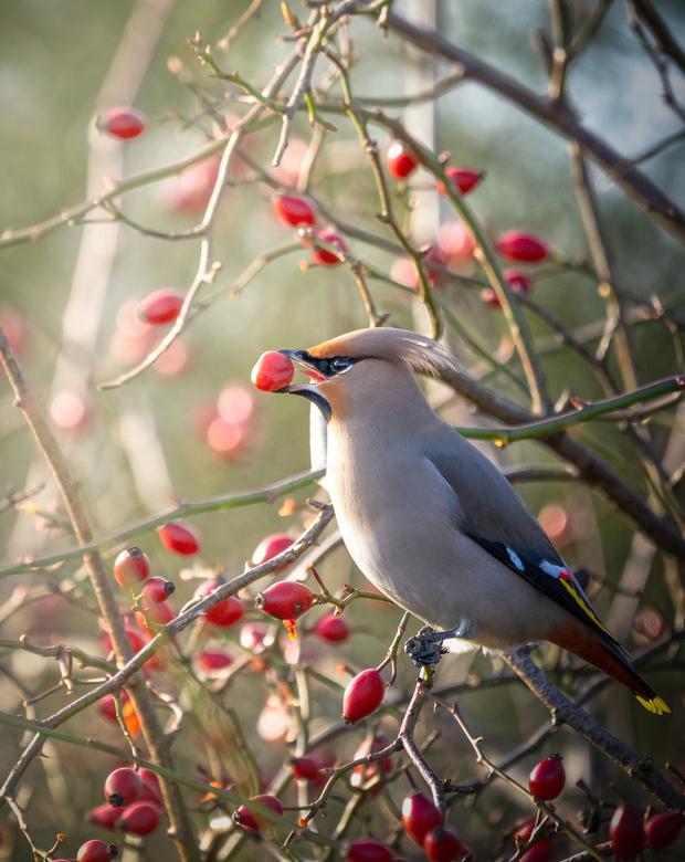 Pestvogel in de zonneschijn -