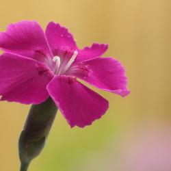 Dianthus.....