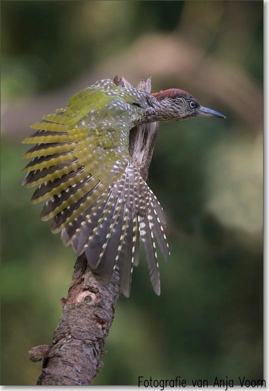 show voor jouw hoe mooi ik ben - Groene specht<br />  Een jong mannetje, dat zie je aan de rode keelvlek. Bij het vrouwtje is dat zwart