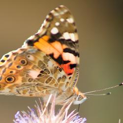 vlinder op mijn tuin
