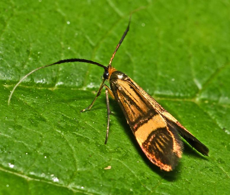 micro mooi - In Nederland leven maar een stuks of 50 soorten dagvlinders. Wel kun je zo'n 2000 nachtvlinders en microvlinders in ons land tegenko