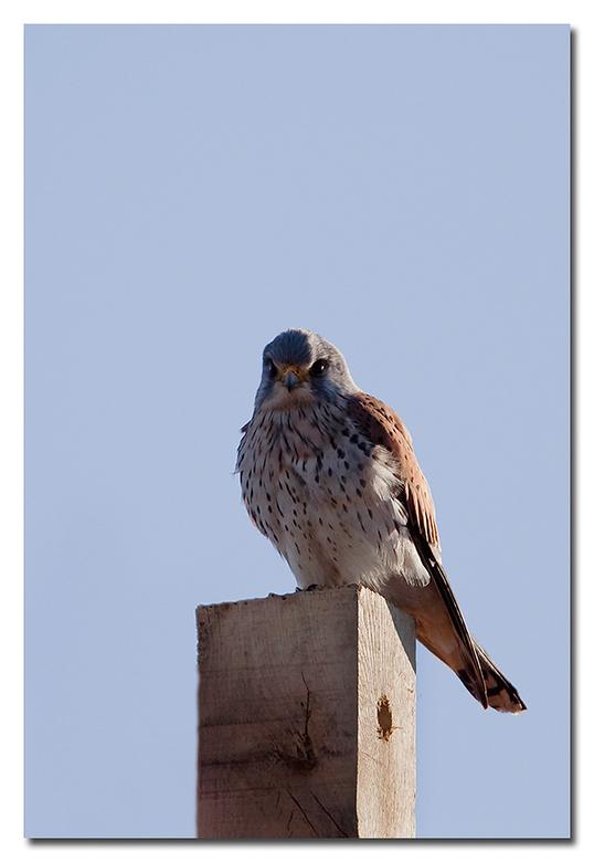 TV-tje - een torenvalkje zat op een lasteige plek om deze goed weten vast te leggen <br /> <br /> Effies in het groot bekijken!!<br /> <br /> Heel