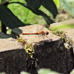 Eerste libelle