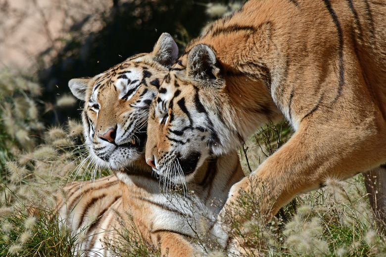 kopjes geven - Een tijger ligt te genieten van de zon. Op zijn neus krioelen 10 - 15 vliegen. Ik krijg er gewoon de kriebels van. Met mijn sigma 150 -