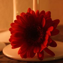Ligt Rose