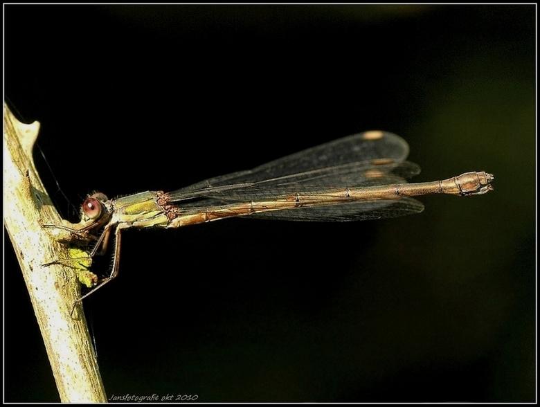 houtpantserjuffer - foto van vanmiddag 3 okt 2010.<br />  <br /> bedankt voor de reacties op m,n De groene cicade (Cicadella viridis)<br /> <br />