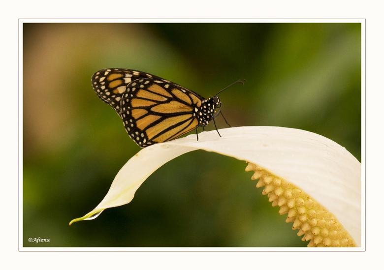 Vlindertuin - Afgelopen vrijdag met Geertje naar de vlindertuin in Luttelgeest geweest. Valt beslist niet mee om mooie foto's van die drukke bees