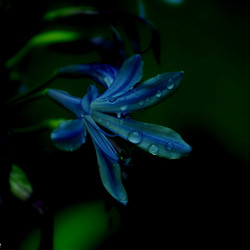 Agapanthus. flower of love