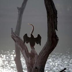 Slangenhalsvogel drogen in de zon.