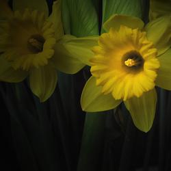 First Daffodil...