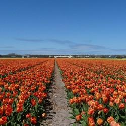 Mooi tulpenveld