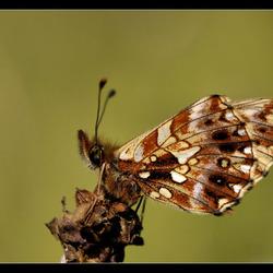 Akkerparelmoer vlinder