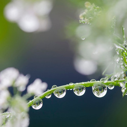 pearls of rain