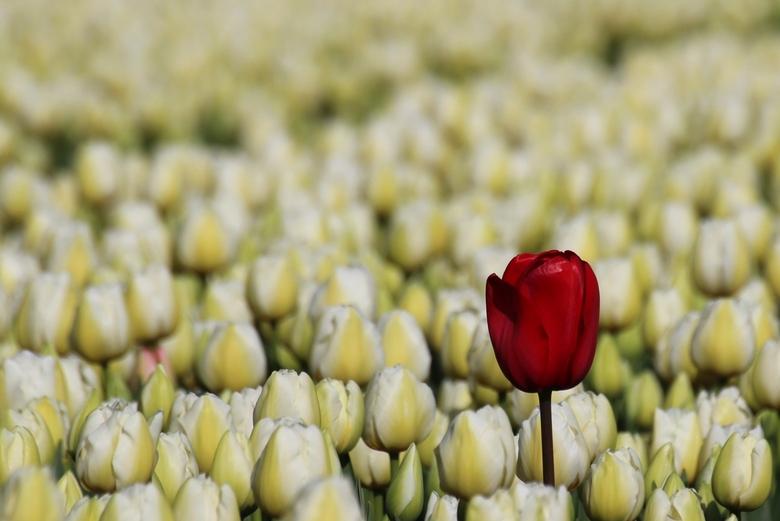 tulpen op zijn mooist - bollen 065.JPG