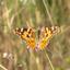 Zadar-vlinder