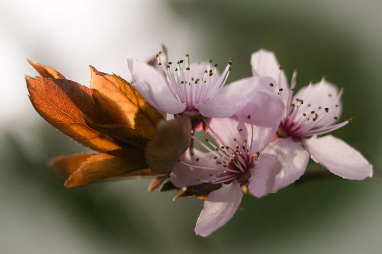 bloesem - De prunus staat weer in bloei!!!