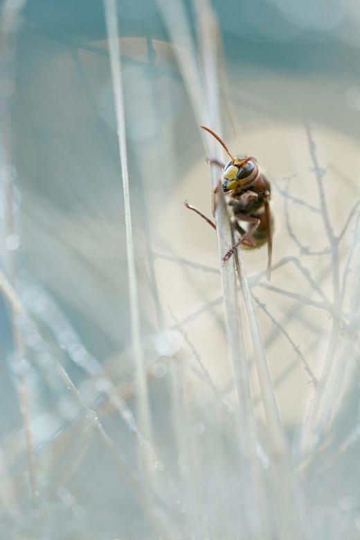 Vespa Crabro - Ik ben niet bang voor insecten, zeker niet met een camera tussen mij en het insect. Behalve voor hoornaars. Ooit heb ik een nare ervari