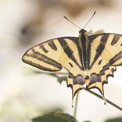 Zuidelijke koninginnenpage - Papilio alexanor (destelensis)
