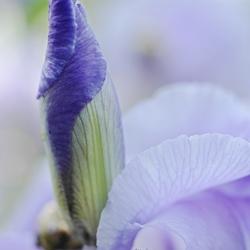 paarse lisdodde.jpg