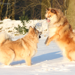 IJslandse honden, HKH Freyja II en Miss Bera