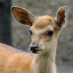 Kleine Bambi
