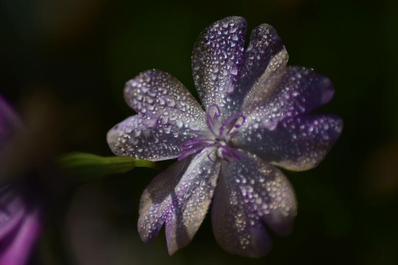 Teardrops - Een prachtige verschijning in de vroege morgen