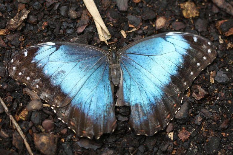 Blauwe vlinder - Een prachtige vlinder, in de vlinderkas van Blijdorp