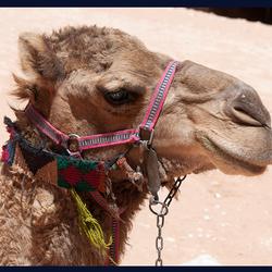 kameelkop 1505192299m1w