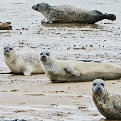 zeehonden op de vlucht