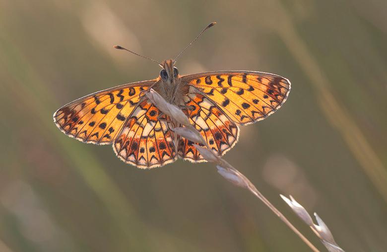 zilverenmaan met tegenlicht - In Overijssel een blauwgrasland veldje bezocht waar deze vlindersoort voorkomt. Deze zilverenmaan is een zeldzame vlinde